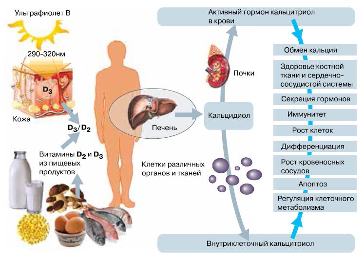 Как действует витамин Д